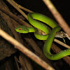 Philippine green tree viper, Philippine pit viper