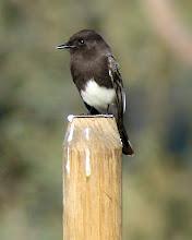 Photo: Black phoebe - San Dieguito County Park