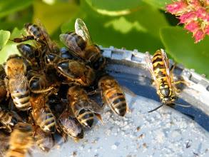 Photo: Photo prise hier 17.10 : les abeilles butinent à ma soucoupe en compagnie d'une guêpe germanique mais sans heurt, entente cordiale.  Aujourd'hui 18.10 sous une pluie fine et 14°, quelques abeilles butinent le restant de sirop de hier ! Courageuses petites bêtes !