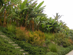Photo: This steep south facing slope in Santa Barbara was perfect for growing bananas but not without Vetiver to create cross slope terraces for access and mulch and slope stabilization.