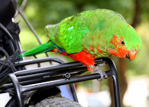 Photo: Year 2 Day 147 -  One of the Parrots Sat on our Bike