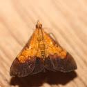 Bicolored Pyrausta - 5040