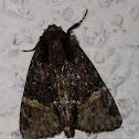 Turbulent Phosphila Moth