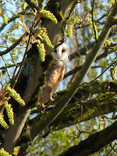 Photo: Adult Barn Owl