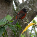 Pico de plata (hembra) / Crimson-backed Tanager (female)