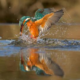 Splash! by Charlie Davidson - Animals Birds ( water, bird, scotland, wild, kingfisher, wildlife, animal,  )