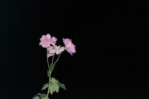 Rose nella Notte di Darosh