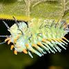 Caterpillar of Moth