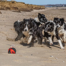 Collie Explosion by Sue Lascelles - Animals - Dogs Playing