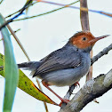 Red headed tailorbird
