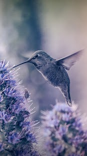 Hummingbird Live Wallpaper- screenshot thumbnail