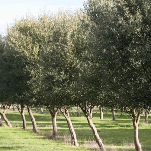 Olive Grove in Tasmania