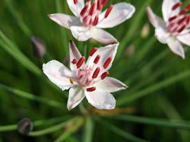 Цъфтяща тръстика (Butomus umbellatus)