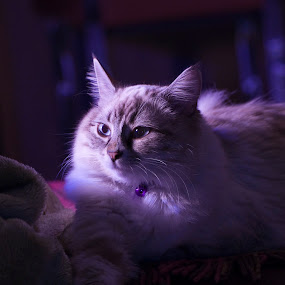 Mysterious Cat by Ryan Li - Animals - Cats Portraits ( kitten, cat, mysterious, funny, lovely, animal )