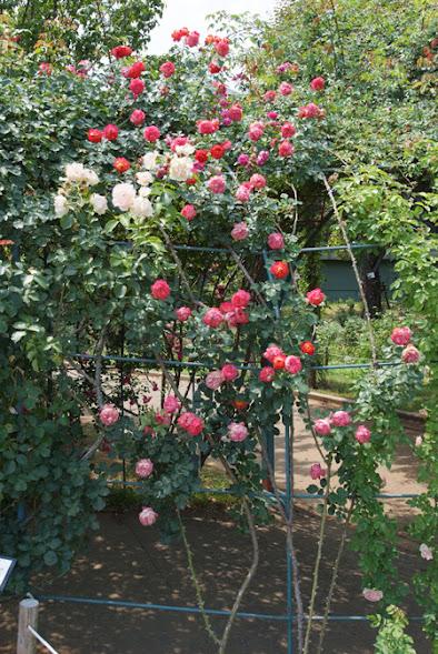 Một vòm hoa sử dụng hồng leo Soleil Romantica rose để trang trí