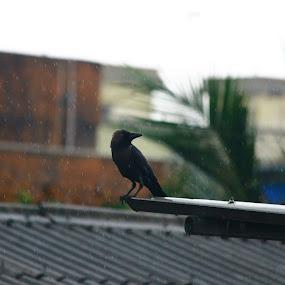 Rain crow by Gautam Biswas - Animals Birds