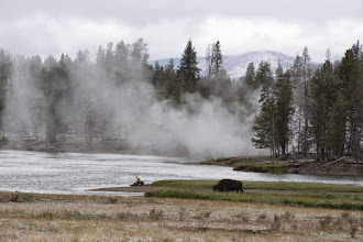 Photo: Lone bison in the wild