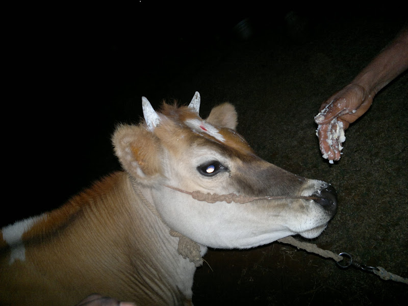 Photo: Pongal - Cow eating food...
