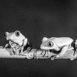 Frogs by Garry Chisholm - Black & White Animals ( macro, nature, tree frog, amphibian, two, garry chisholm )