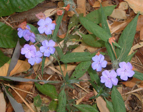 Photo: Wild flowers on the forest bed on the trail between Ban Kotha and Ban Thipogyi villages, Umphang