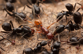 Photo: Azteca ants attacking army ant scout