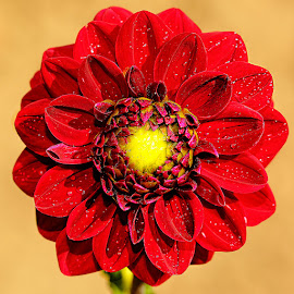 Coeur jaune by Gérard CHATENET - Flowers Single Flower (  )