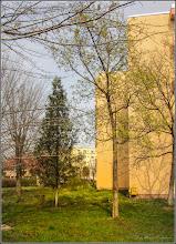 Photo: Arțar, Paltin de câmp, (Acer platanoides, - din Turda, Calea Victoriei, Bloc B 16, spatiu verde - 2019.04.04
