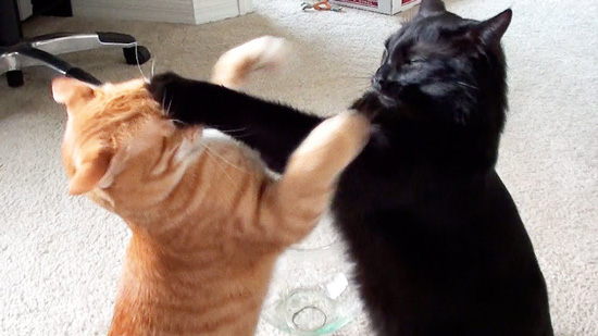 Two cats fighting, the black cat lands a hit on the orange tabby.