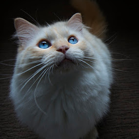 by Leticia Cox - Animals - Cats Portraits ( cats, natural light, blue eyes, portraits )