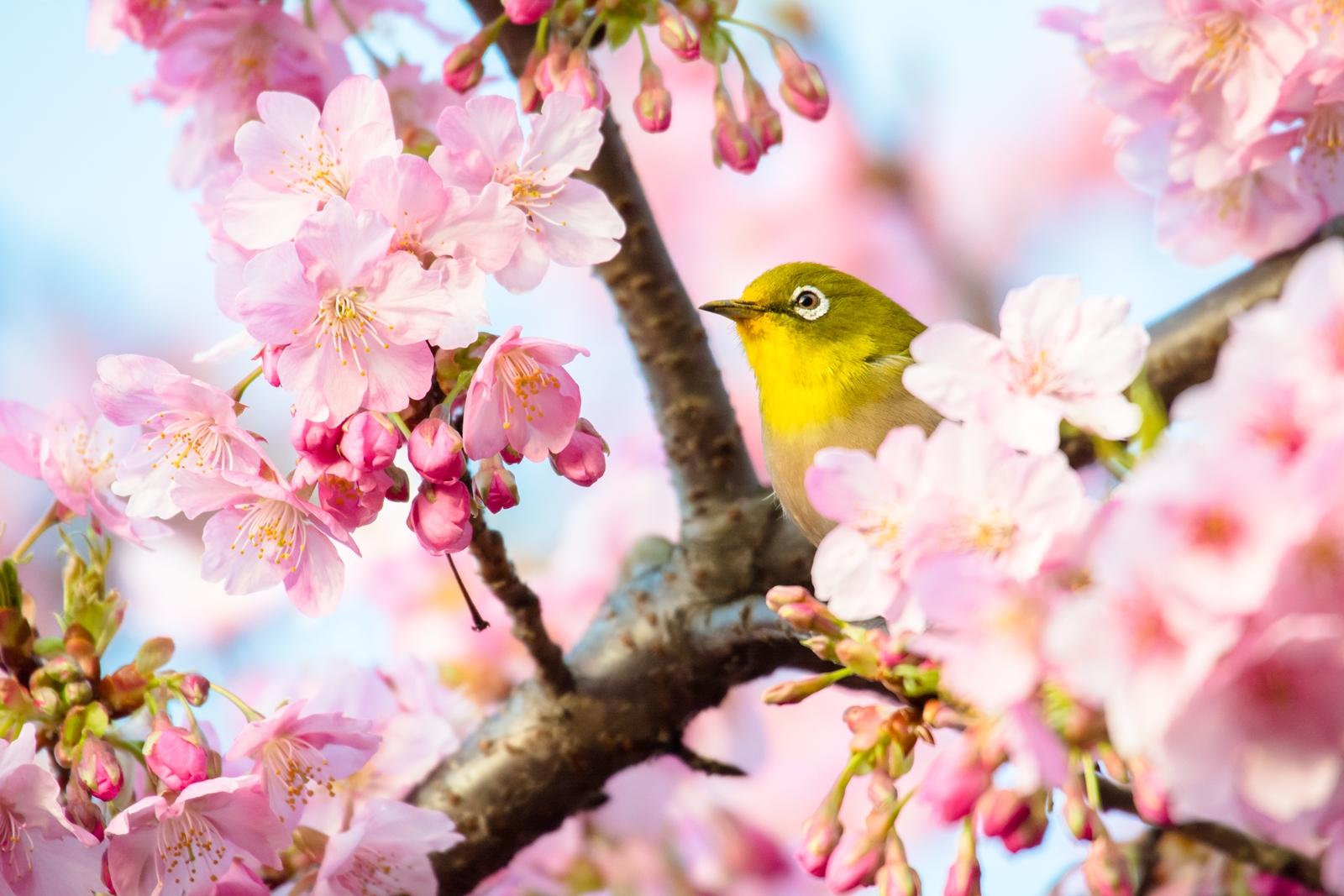 Photo: 特等席 Special seat.  とっても贅沢な席 まわりを桜に覆われて 美味しい蜜も飲み放題 ここは誰にも譲れない  Kawazu cherry trees and Japanese White-eye. (大井松田の河津桜とメジロ) #fujisakura #cooljapan #365cooljapanmay  #birdphotography #birds  #kawaii  Nikon D7100 SIGMA APO 50-500mm F5-6.3 DG OS HSM [ Day312, March 20th ]