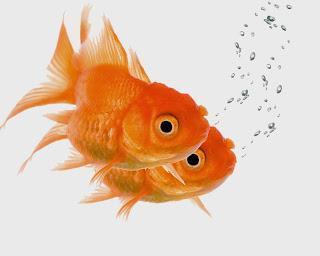 http://2.bp.blogspot.com/-DkqJoiXmJFg/VEGCwBYl51I/AAAAAAAAAJs/5_y6LMsp7E0/s320/goldfish-doublevision.jpg