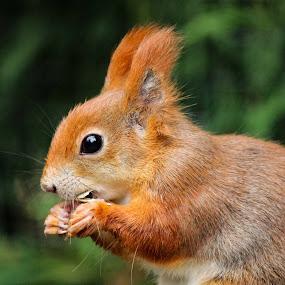 Om Nom Nom  by Sam Sampson - Animals Other Mammals ( red, tufts, wildlife, squirrel, eye,  )