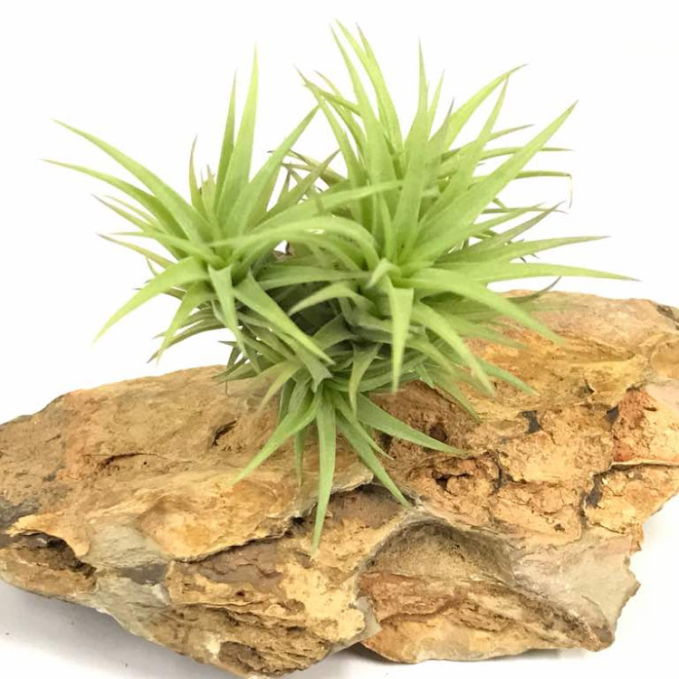 Tillandsia Aeranthos 'Bronze' by ACE STORY AQUATIC
