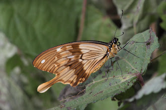 Photo: Male flying handkerchief - Papilio dardanus
