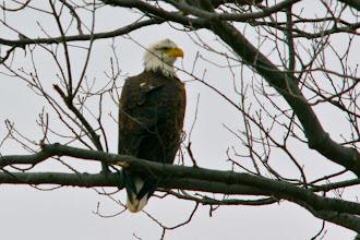 Photo: Eagle closeup - 3/9/09