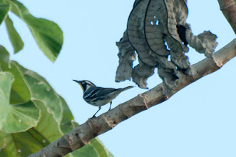 Photo: Yellow-throated Warbler (Goldkehl-Waldsänger); Bacalar, QROO