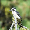Hairy woodpecker (female)