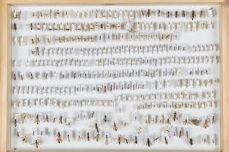 Photo: ZSM-HD-0001120 Various Ichneumonidae indet.