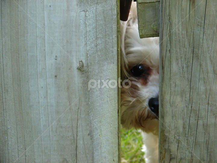 Can I come?? by Lisa Milstead - Animals - Dogs Puppies (  )