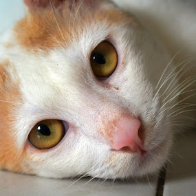 puteh the cat 2 by Andrian Andrew - Novices Only Pets