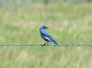 Photo: Mountain bluebird in the Beaverhead Mountains