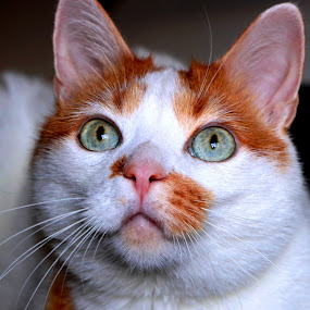 by Carmen Baltianu - Animals - Cats Portraits