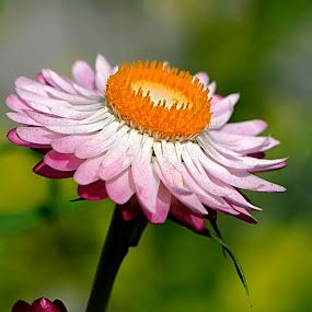 flowerclose by Gourab Mitra - Nature Up Close Flowers - 2011-2013 ( macro, lower, nature, bokeh, closeup )