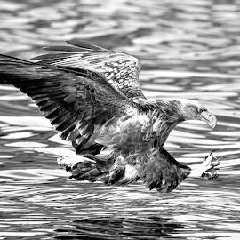 White tailed eagle by Roald Heirsaunet - Black & White Animals