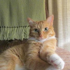 Fancy Cat by Debra Rebro - Animals - Cats Portraits (  )