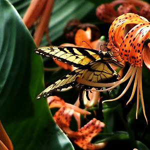tiger butterfly and lily 1.jpg