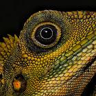 Great Anglehead Lizard