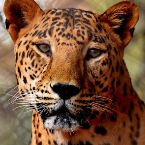 a big cat..... by Vijay Singh Chandel - Animals Lions, Tigers & Big Cats ( big cat, animals, wildlife, forest, laperd )