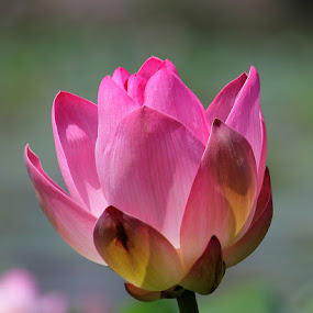 Lotus Flower by Vijendra Parmar - Nature Up Close Flowers - 2011-2013 ( rajasthan, udaipur, pink, india, lotus flower, pwcflowergarden-dq,  )