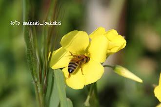 Photo: ΞΥΝΗΘΡΑ oxalis pes-caprae ΑΓΙΟΣ ΝΙΚΟΛΑΟΣ Η οξαλίδα (Oxalis sp. της οικογένειας Oxalidaceae) είναι ένα όμορφο φυτό το οποίο φύεται κατά κόρον στο χώμα των χωραφιών.Είναι γνωστή σαν ξυνήθρα ή ξυνίτσα ή ξυνίδα ή ξυνάλατη επειδή τη χαρακτηρίζει μία υπόξινη και ελαφρά αλμυρή γεύση. Η βρώση της σε μεγάλες ποσότητες μπορεί να αποβεί πολύ επικίνδυνη για τον άνθρω- πο, αλλά σε μικρές χρησιμοποιείται στη βοτανοθεραπεία.Το όνομα της ετυμολο- γείται από τα αρχαία ελληνικά οξύς (= ξινός) και άλας (= αλάτι). Παρότι το φύλλωμα της είναι τρίφυλλο ή τετράφυλλο δεν έχει καμιά συγγένεια με το γνωστό μας τριφύλλι. Τη νύχτα τα φύλλα της διπλώνουν και κλείνουν.